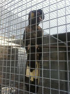 Yellow tail black cockatoo.  Male