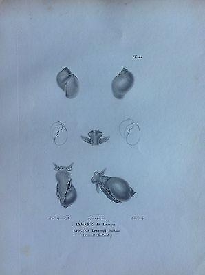 Holothuria Purpurea Tahiti Etching 1830 Storia Natural Centurie Zoologique