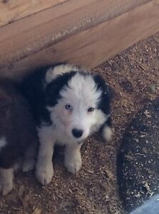 Beautiful pure bred border collie puppies Sunbury Hume Area Preview