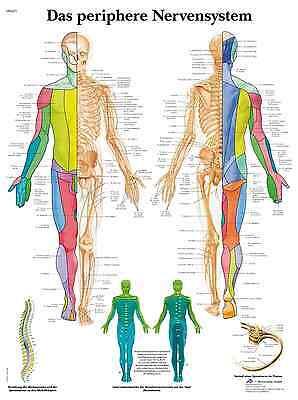 das periphere Nervensystem Lehrtafel  Anatomie 50 x 67cm Poster