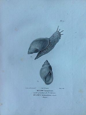 Bulime Hœmastome Brazil Etching 1830 Storia Natural Centurie Zoologique