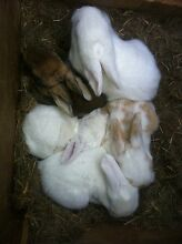 Rabbits NZ whites x British giant rabbits Dover Huon Valley Preview