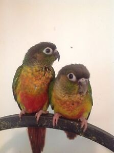 Yellow sided Conure babies Crestmead Logan Area Preview