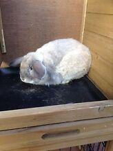 Dwarf rabbit St Albans Brimbank Area Preview