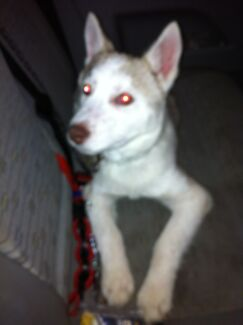 4/5 months old Siberian Husky (MALE) $750.00 Westmead Parramatta Area Preview