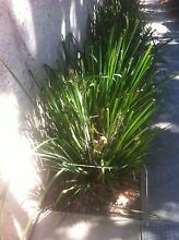 FREE LOMANDRA LONGIFOLIA PLANTS to be dug out Pick up Castle Hill Castle Hill The Hills District Preview