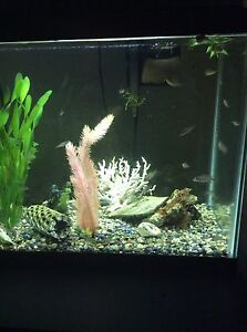 Chiclids for sale