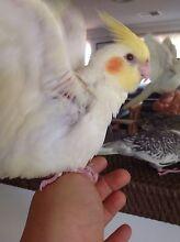Cockatiels (Weeros) handraised baby's 8weeks Warwick Joondalup Area Preview