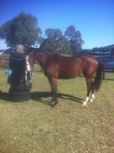 BRIGHT FUTURE QH X FILLY Lindenow South East Gippsland Preview