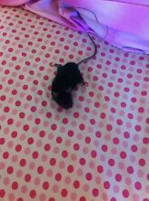 2 male mice + cage for sale Owen Wakefield Area Preview