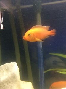 African cichlids for sale Leura Blue Mountains Preview