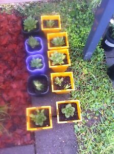 Potted succulents Fern Bay Port Stephens Area Preview