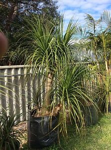Dragon trees & Ponytail Palms for sale Mira Mar Albany Area Preview