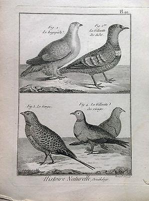 Partridge White Ganga Benard 1790 Histoire Naturelle Ornithology Birds