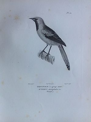 Troupiale Gola Black Etching 1830 Ornithology Birds Centurie Zoologique