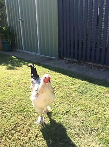 Young Light Sussex X Rooster Hillarys Joondalup Area Preview