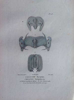 Callianire Skeleton Etching 1830 Ornithology Birds Centurie Zoologique