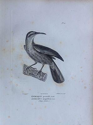 Épimaque New Guinea Etching 1830 Ornithology Birds Centurie Zoologique