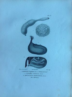 Sipunculus Worms Boltenia Etching 1830 Storia Natural Centurie Zoologique