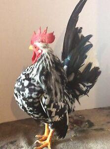 10+ Show Quality Mottled, Blue & Chocolate Serama Hatching Eggs!!