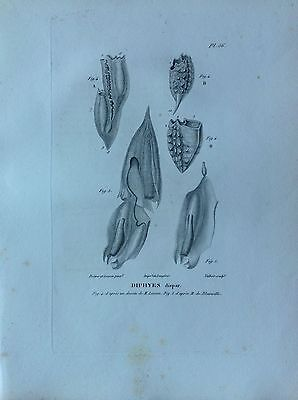 Diphyes Disparte. Etching 1830 Storia Natural Centurie Zoologique