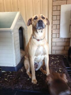 Bullmastiff x ridgeback female $200 Champion Lakes Armadale Area Preview