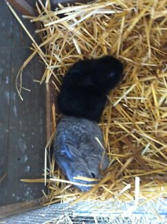 Baby rabbits  Ulong Coffs Harbour Area Preview