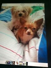 Got one little boy left Maltese x chihuahua Kingston Logan Area Preview