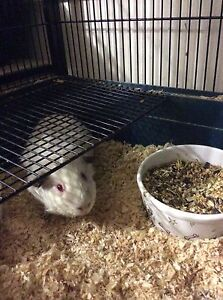 Male Guinea Pig & large indoor cage Kallangur Pine Rivers Area Preview