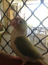 Handraised green cheek conure blue series Varsity Lakes Gold Coast South Preview