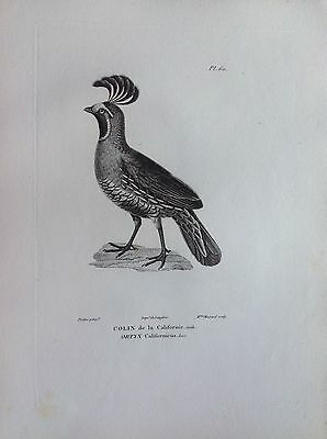 Colin of California Etching 1830 Ornithology Birds Centurie Zoologique