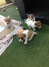 Mini Foxie Cross Jack Russell Puppies Martinsville Lake Macquarie Area Preview