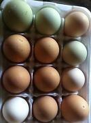 Bantam Hatching Eggs