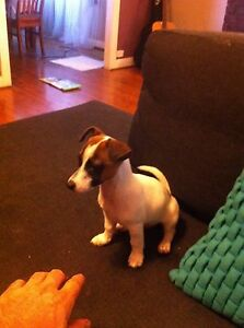 Puppy for sale Matraville Eastern Suburbs Preview