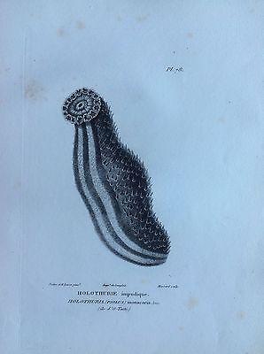 Holothurie Impudique Tahiti Etching 1830 Storia Natural Centurie Zoologique