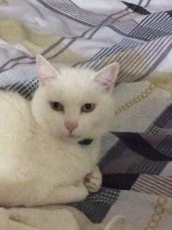 """Missing cat called """"missy"""" Alexander Heights Wanneroo Area Preview"""