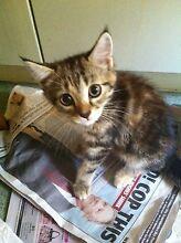 Male kitten Stafford Heights Brisbane North West Preview