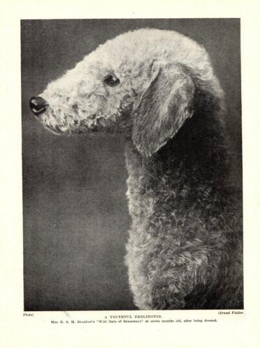 1930s Antique BEDLINGTON TERRIER Dog Print Wild Oats of Bransways  3336-K