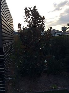 Magnolia trees for sale Macquarie Links Campbelltown Area Preview