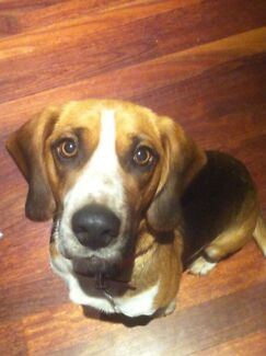 Urgent home needed for loving beagle! Newport Hobsons Bay Area Preview