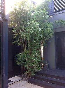 Large Golden Clumping Bamboo 3m to 6m Rozelle Leichhardt Area Preview