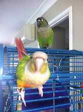 Female cinnamon conure and Male greencheek conure Helensvale Gold Coast North Preview