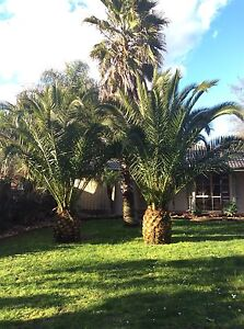 Palm trees for sale Berwick Casey Area Preview