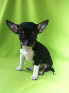 *** Adorable Chihuahua Pup & Young Male Chihuahua Pup ***