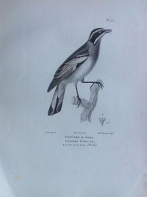 Tangara of Priest Brésil Etching 1830 Ornithology Birds Centurie Zoologique