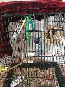 2 Budgie Birds For Sale
