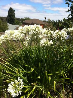 White Agapanthus - farm fresh - from $1.35 Mansfield Park Port Adelaide Area Preview
