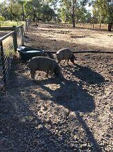 Berkshire pigs for sale Conargo Conargo Area Preview