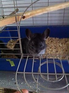 Sweet male chinchilla