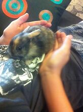 Rabbits Netherlands dwarf Tullamarine Hume Area Preview